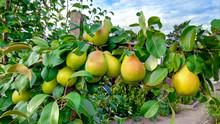 Beautiful Ripe Pears On A Gree...
