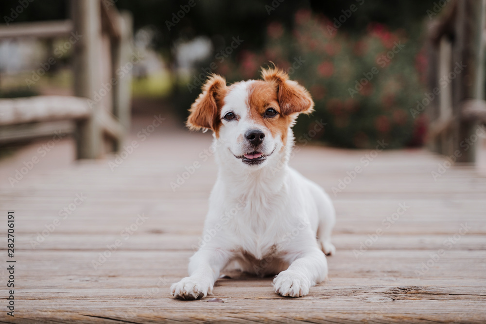 Fototapety, obrazy: cute small jack russell terrier dog lying on a wood bridge outdoors and looking for something or someone. Pets outdoors and lifestyle