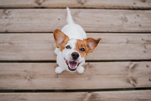 Top View Of Cute Small Jack Russell Terrier Dog Sitting On A Wood Bridge Outdoors And Looking At The Camera. Pets Outdoors And Lifestyle