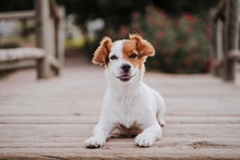 Cute Small Jack Russell Terrie...