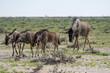 Gnus in der Etosha Pfanne Namibia