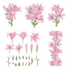 Vector Set Of Light Pink Lily Flowers Isolated On White