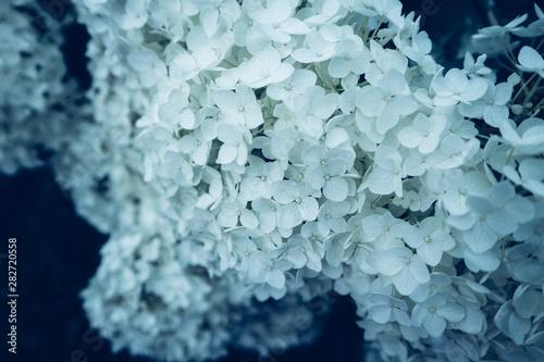 Fototapety, obrazy: Hydrangea Hortensie weiß