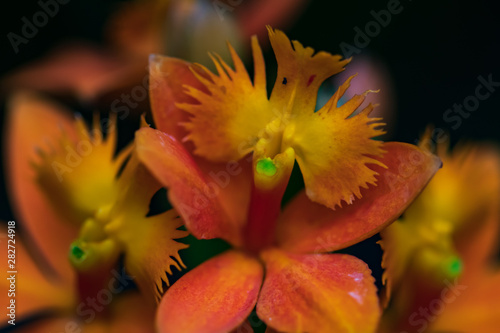 Red and yellow orchid close-up
