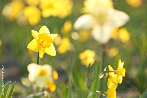 Fresh beautiful narcissus flower in field on sunny day, selective focus with space for text