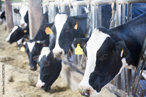 obraz PCV Farm cowshed with cows
