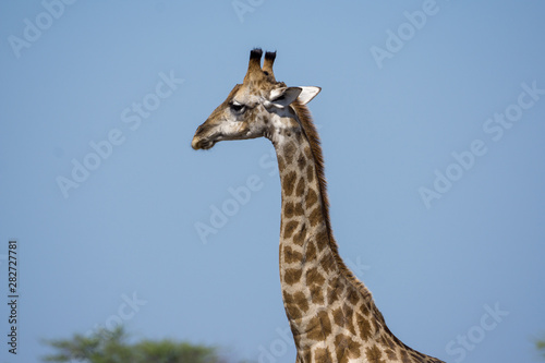 Photo  Giraffe in Etosha National Park Namibia