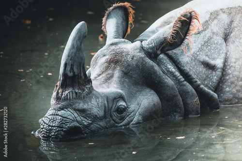 Spoed Foto op Canvas Neushoorn Dirty rhino in the muddy water in a zoo