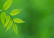 Fresh green leaves. Defocused background.Extremely shallow DOF.