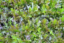 Organic Red Oak Lettuce, Nature Background.