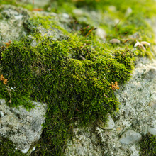 Old Stone Wall With Green Moss Texture Background