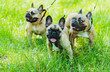 canvas print picture - French Bulldog. Three dogs of French Bulldog breed walking through the grass