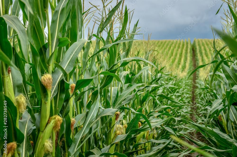 Fotografia Green corn field with corn cobs close up.
