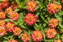 Orange Zinnias In Bloom