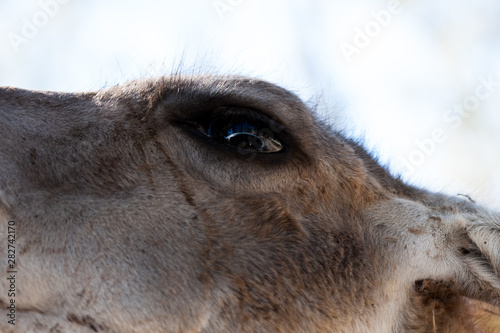 Fototapety, obrazy: Lama body photographed up close, on a green natural background. Light brown animal, big eyes. They are mammals and herbivores. Animals and nature.