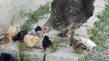 Motherly Chickens And Tiny Chi...