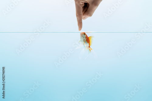 Obraz na plátne cropped view of man touching goldfish in transparent pure calm water on blue bac