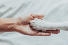 Woman Hand Is Gently Holding A White Dog Paw. Train Dog To Shake Paws. Home Leisure. Love Concept