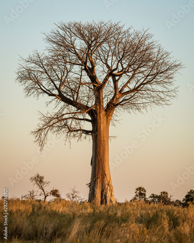 Baobab trees stand solitary in the desert of Botswana