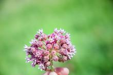 Milkweed Plant Flower On The P...