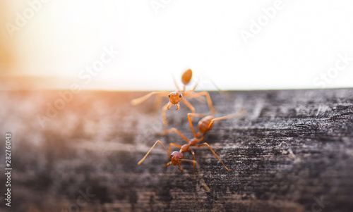 Fotografia  Ant action standing on tree branch with morning sunlight - Close up fire ant wal