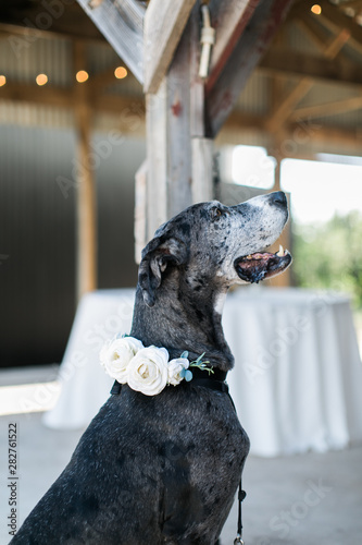 Photo Dog at wedding with flowers on collar, dog ring bearer