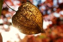 Physalis Alkekengi.Chinese Lantern. Cape Gooseberry. Dry Physalis On Blurred Foliage Background. Autumn Nature Background.