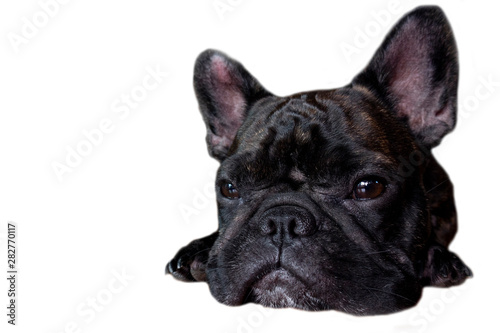 french bulldog on isolate background