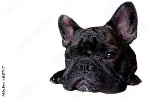 In de dag Franse bulldog french bulldog on isolate background