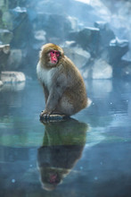Japanese Macaque In Hot Spring...