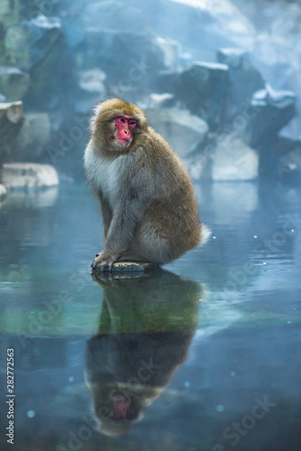 Cuadros en Lienzo Japanese Macaque in hot spring in Jigokudani Monkey Park, Japan
