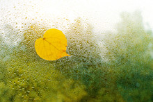 Yellow Autumn Leaves Stuck To The Wet Window. The Glass In Drops Of Rain.