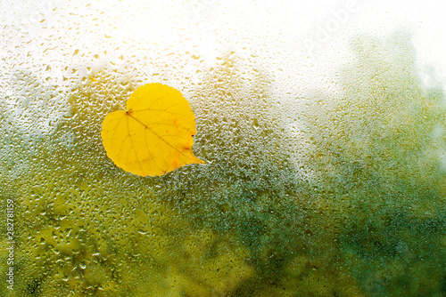Fotografija Yellow autumn leaves stuck to the wet window