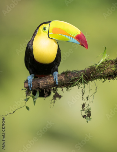 Door stickers Toucan Toucan on a branch in nature