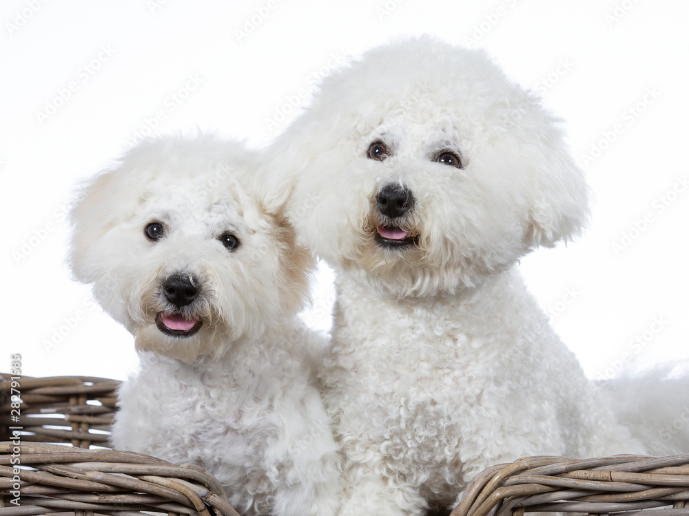 Fototapety, obrazy: Two Bichon Frise dogs posing together in a studio. Image taken with a white background. Isolated on white.
