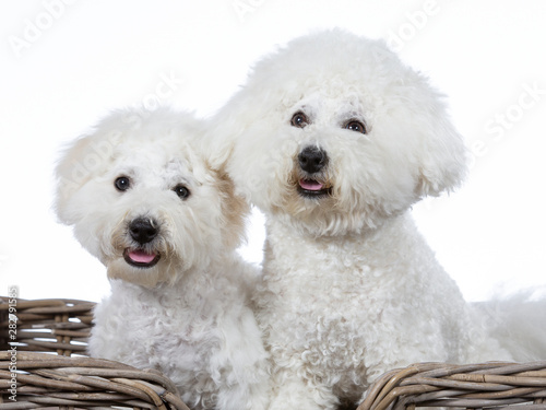 Vászonkép  Two Bichon Frise dogs posing together in a studio
