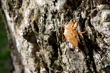 Cicada Skin After Molting, On ...