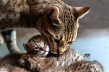 Cute And Grey Cat Mum Licks Little Kittens, Low Key