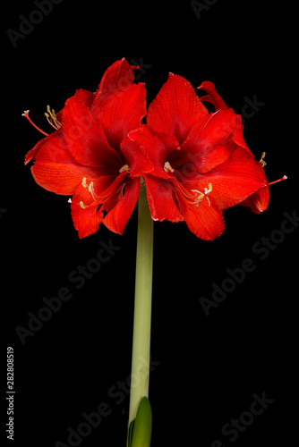 Photo Red amaryllis flower in bloom isolated on a black background