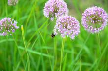 Flowering Decorative Garlic Allium Garden Plant With Bumblebee