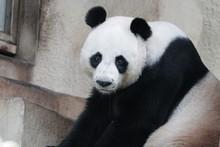 Funny Male Giant Panda, Chuang...