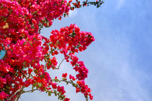 Pink Tropical Flowers Of A Bougainvillea Against The Background Of The Blue Sky. Flower Background