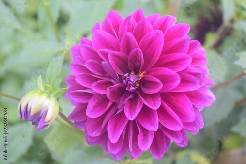 Foto op Plexiglas Dahlia Dahlia flower in my garden