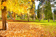Yellow Chestnut Tree And Green Lawn Covered With Fallen Leaves In Autumn Park