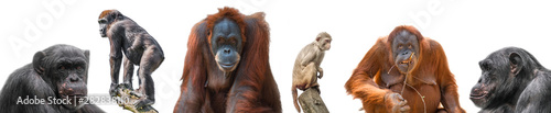 Photo Set of different monkeys as Rhesus macaque, orangutan, gorilla and chimpanzee is