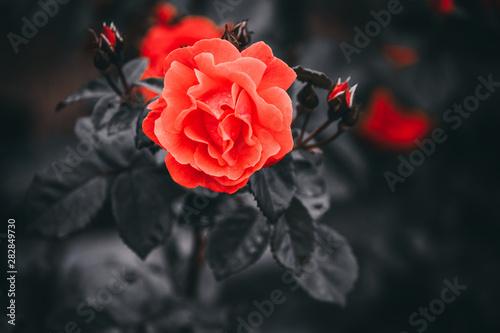 roza-czerwona-na-tle-czarnych-lisci