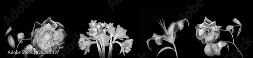 High resolution back and white panoramic photo  montage of individually colour graded Rose, Iris and daffodil