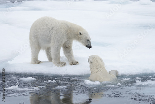 Deurstickers Ijsbeer Two young wild polar bears playing on pack ice in Arctic sea, north of Svalbard