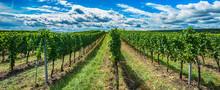 Green Vineyards Landscape In Summer Time