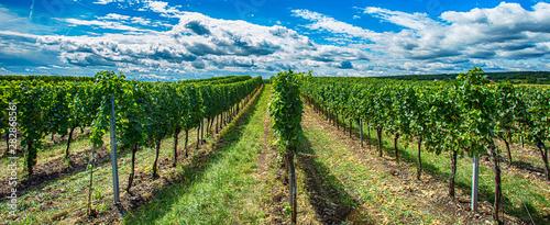 green vineyards landscape in summer time Fototapet